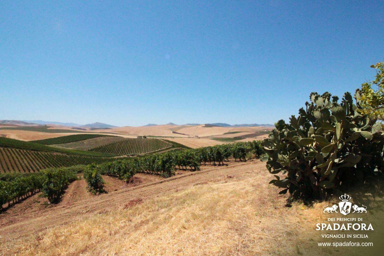 vigneto-siciliano-produzione-vino-biologico